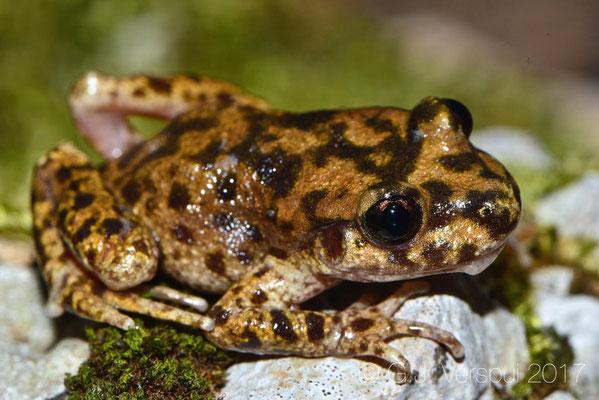 Majorcan Midwife Toad - Alytes muletensis