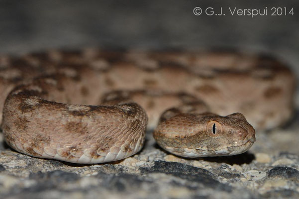 Palestine Saw-scaled Viper - Echis coloratus, In Situ