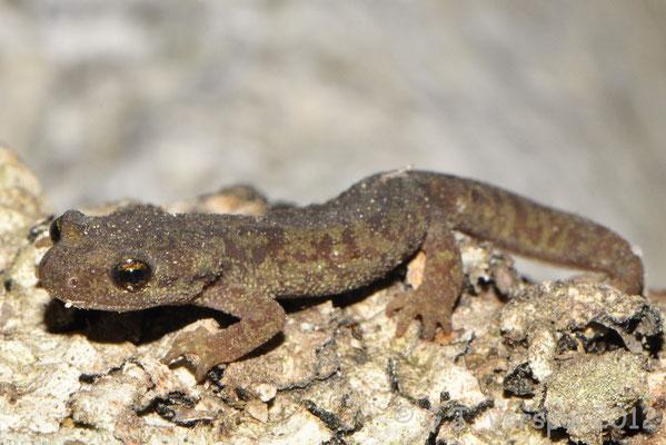 Corsican Brook Newt - Euproctus montanus