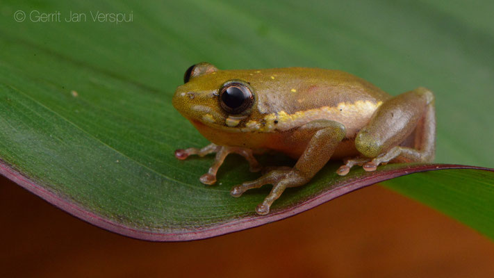 Side-striped Reed Frog - Hyperolius lateralis
