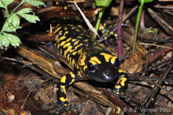 Fire Salamander - Salamandra salamandra crespoi   In Situ