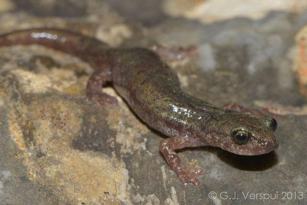 Gené's Cave Salamander - Speleomantes genei  subsp. B