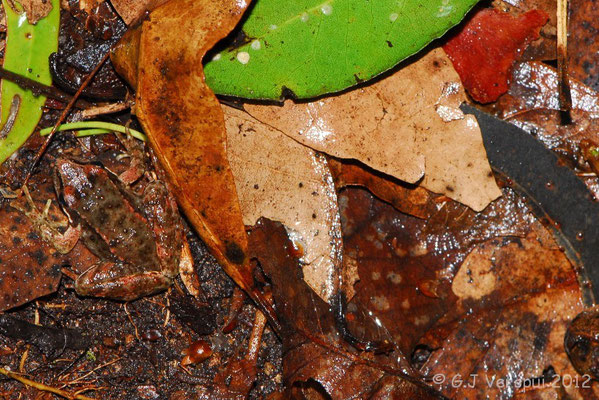 Iberian Stream Frog - Rana iberica    In Situ
