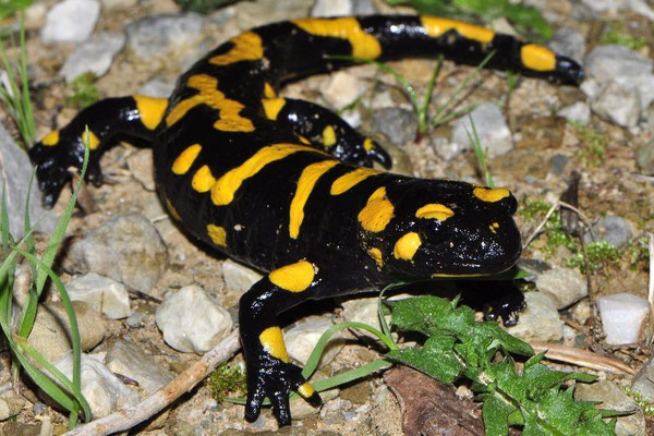 Fire Salamander - Salamandra salamandra werneri from the Taygettos Mountains