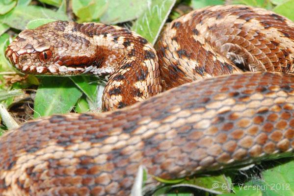 Third Seoane's Viper - Vipera seoanei seoanei