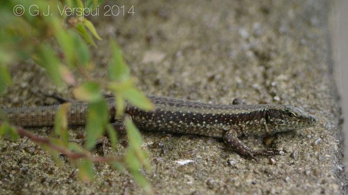 Madeira Wall Lizard - Teira dugesii