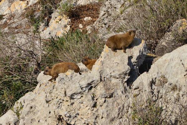 Rock Hyraxes (Procavia capensis)