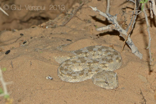 Desert Horned Viper - Cerastes cerastes    In Situ