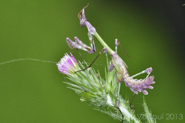 Praying Mantis - Empusa fasciata