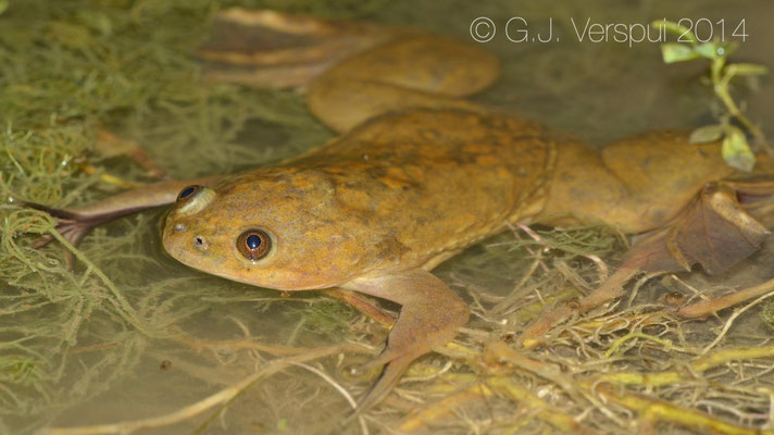 African Clawed Toad - Xenopus laevis