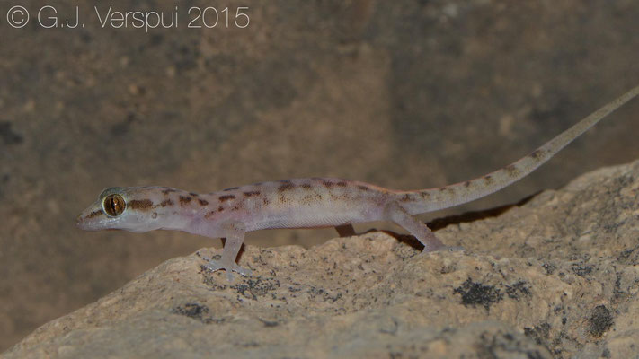 Hemidactylus paucituberculatus, In Situ