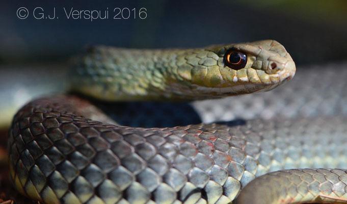 Eastern Montpellier Snake - Malpolon insignitus fuscus