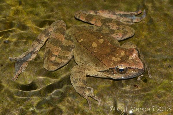 Balkan Stream Frog - Rana graeca   In Situ