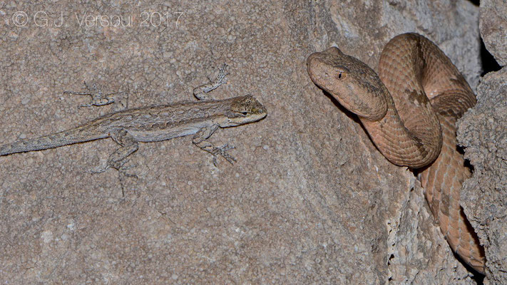 In situ - Urosaurus ornatus with his buddy Crotalus lepidus lepidus, found by Kyle
