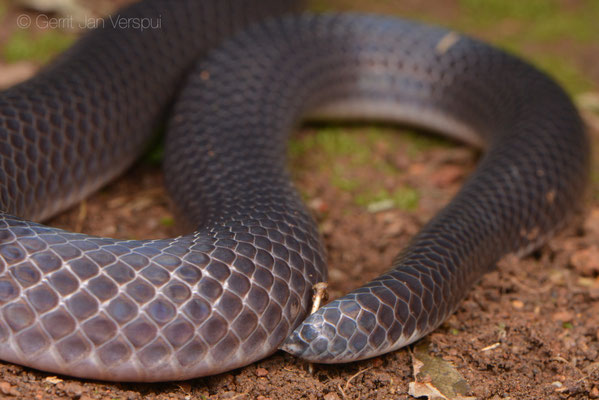 Fawn-headed Snake Eater - Polemon collaris