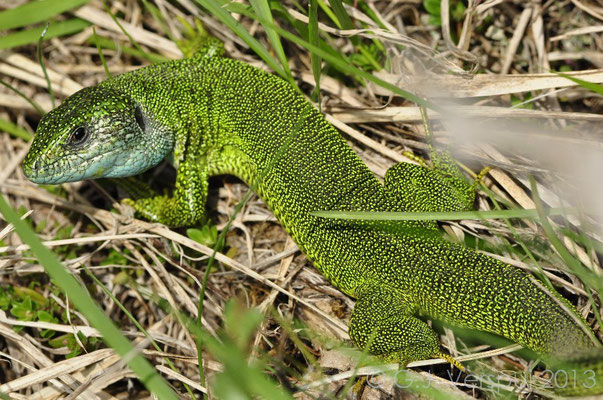 Eastern Green Lizard - Lacerta viridis (big male)