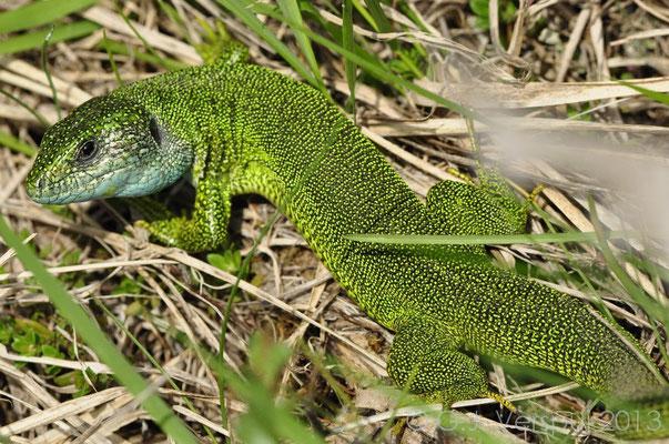 Eastern Green Lizard - Lacerta viridis (big male)