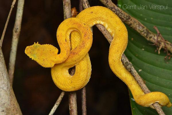 Botriechis schlegelii