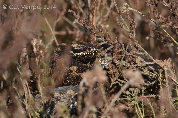 Male Adder - Vipera berus   In Situ