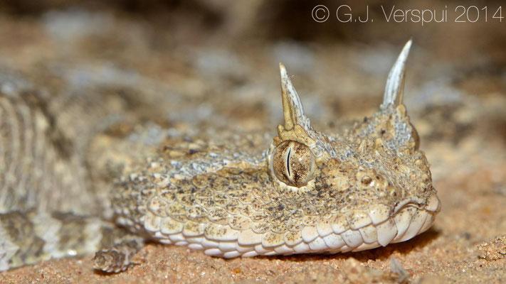 Desert Horned Viper - Cerastes cerastes