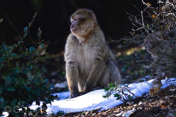 Barbary macaque - Macaca sylvanus