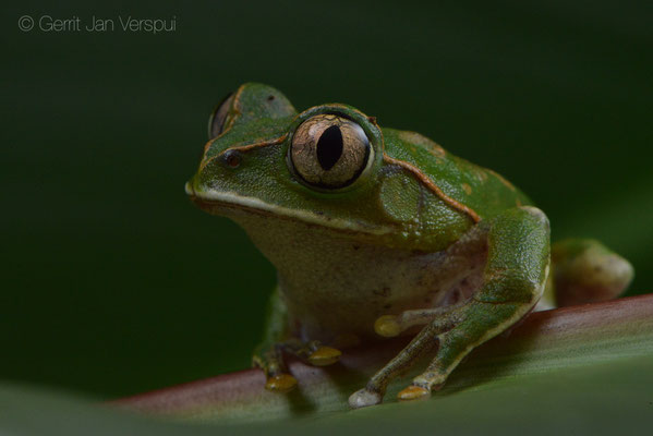 Christy's Tree Frog - Leptopelis christyi