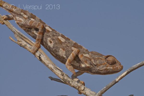 Mediterranean Chameleon - Chamaeleo chamaeleon musae