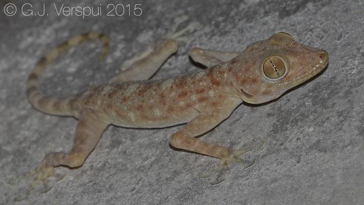 Ptyodactylus dhofarensis, In Situ
