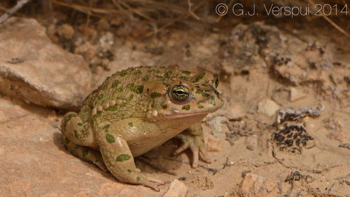 Green Toad - Pseudepidalea variabilis
