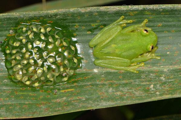 Hyalinobatrachium chirripoi