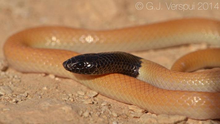 Dayan's Kukri Snake - Rhynchocalamus dayanae sp. nov.