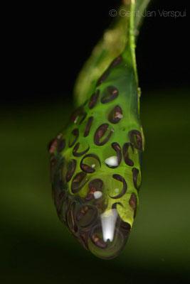 Cochranella granulosa eggs