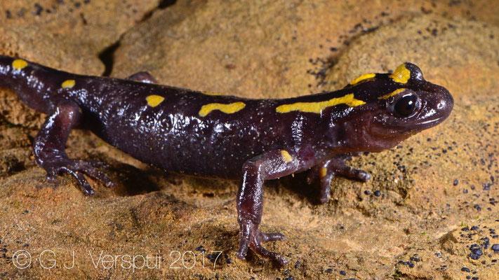 Frank's Salamandra algira tingitana
