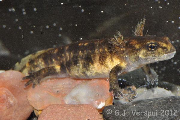 Corsican Fire Salamander - Salamandra corsica larvae
