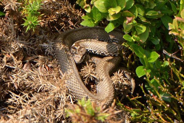 Seoane's Viper - Vipera seoanei seoanei, In Situ