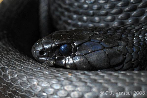 Malanistic Grass Snake - Natrix natrix