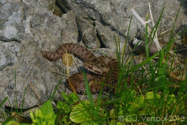 Balkan Adder - Vipera berus bosniensis   (10)  In Situ