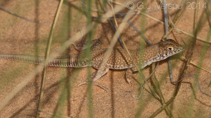 Egyptian Fringe-Fingered Lizard - Acanthodactylus aegyptius, In Situ