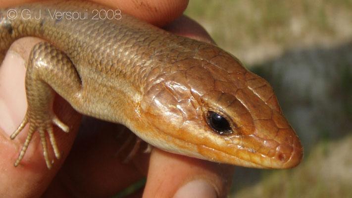 Broadhead Skink - Eumeces laticeps