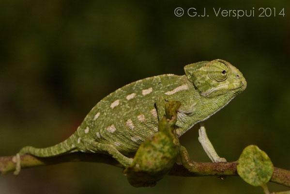 Mediterranean Chameleon - Chamaeleo chamaeleon, Not In Situ.