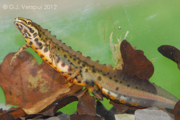 Male Common Newt - Lissotriton vulgaris