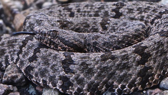 Crotalus lepidus lepidus