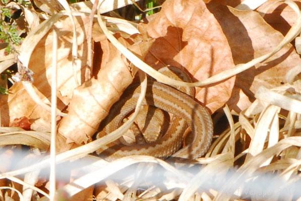 Second Seoane's Viper - Vipera seoanei seoanei (juvenile)   In Situ