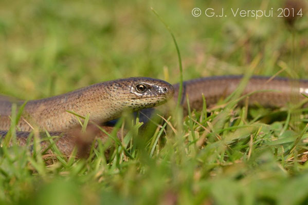 Slow Worm - Anguis fragilis, Not in situ