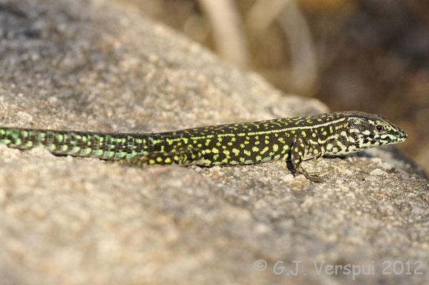 Tyrrhenian Wall Lizard - Podarcis tiliguerta   In Situ