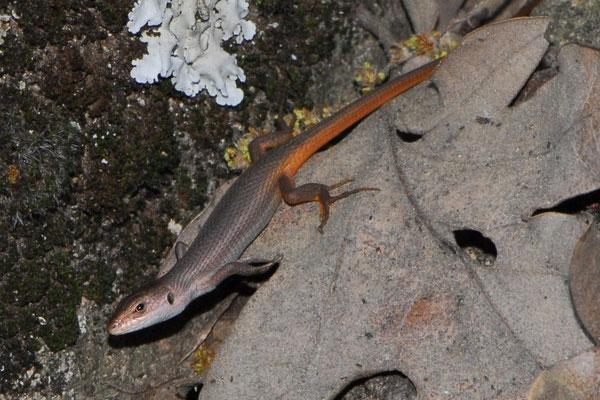 Algerian Psammodromus - Psammodromus algirus (juvenile)    In Situ