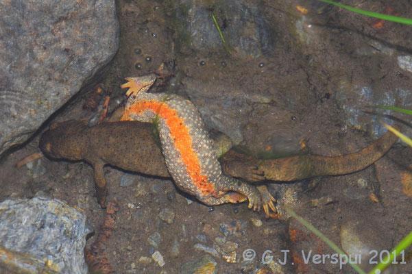Pyrenean Brook Newt - Calotriton asper    In Situ