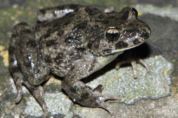 Iberian Parsley Frog - Pelodytes ibericus