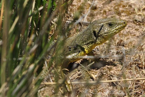 Balkan Green Lizard - Lacerta trilineata hansschweizeri
