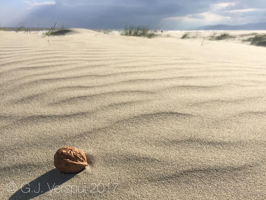 Lonely walnut at the beach